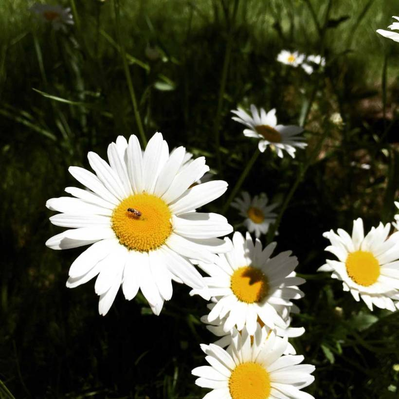 Whiteflowerswithbee